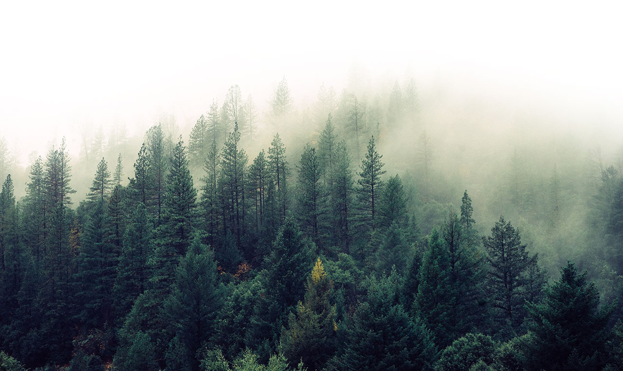 Forest in the fog